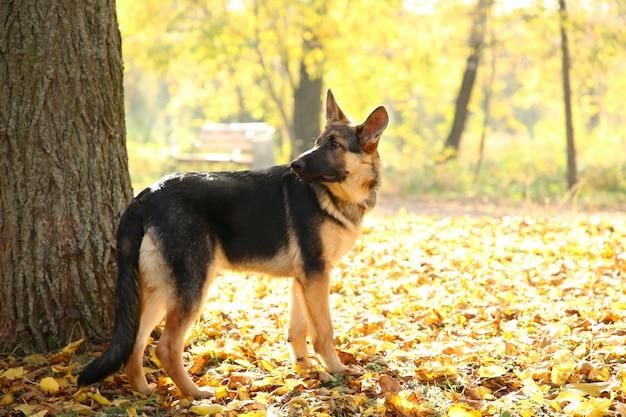 Owczarek niemiecki w pobliżu drzewa w parku jesień. pies w lesie