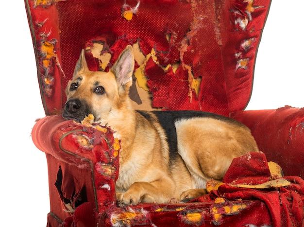 Owczarek niemiecki wyglądający przygnębiony na zniszczonym fotelu, odizolowane