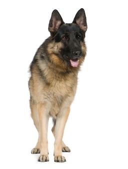 Owczarek niemiecki z 2 lat. portret psa izolowane / wilczur. portret psa na białym tle