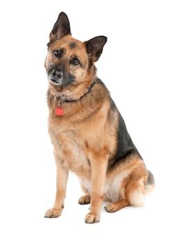 Owczarek niemiecki z 5 lat. portret psa izolowane / wilczur. portret psa na białym tle