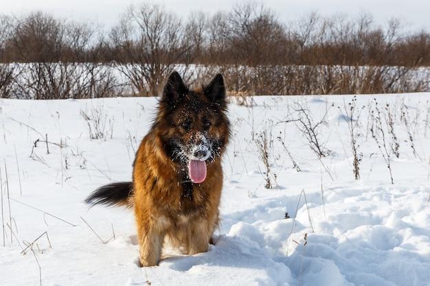 Owczarek niemiecki z językiem wystającym, stojącym na śniegu i machającym ogonem