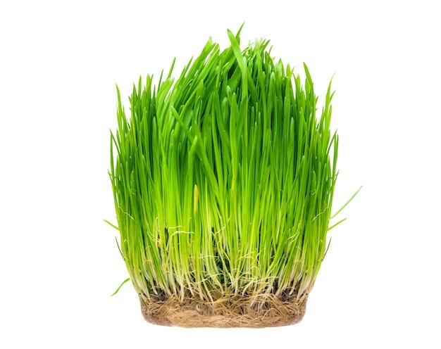 Owies kiełkujący w trawie jest przydatny dla kotów i kociąt izolowanych na białym tle