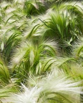 Owies roślin