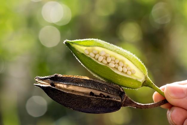 Owoc abelmosk na tle przyrody