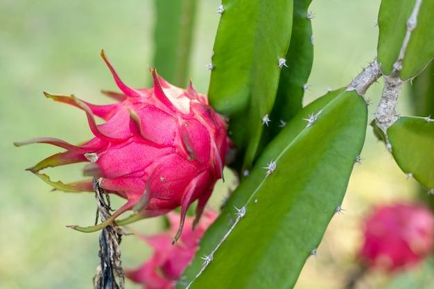 Owoc czerwonego smoka na roślinie, pitaja lub pitahaya to owoc kilku rodzimych gatunków kaktusów, owoc smoka
