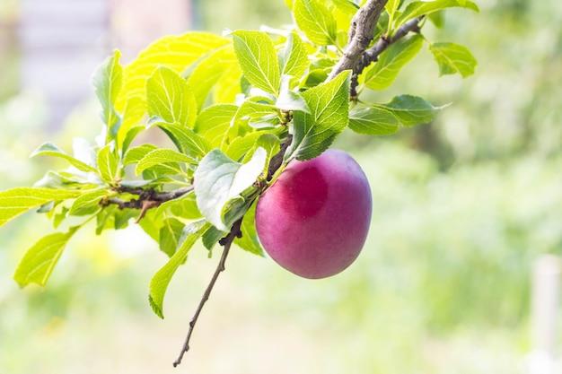 Owoc dojrzała purpurowa śliwka na gałąź w ogrodowym zakończeniu