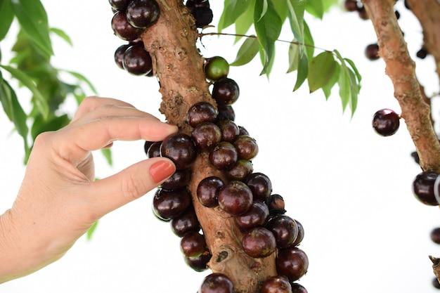 Owoc. egzotyczny. ręka kobiety zbieranie dojrzałych jabuticaba na drzewie. jaboticaba to rodzime brazylijskie winogrono. plinia cauliflora z gatunku.