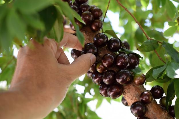 Owoc. egzotyczny. ręka zbierając dojrzałe jabuticaba w drzewie. jaboticaba to rodzime brazylijskie winogrono. plinia cauliflora z gatunku.