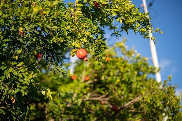 Owoc granatu na drzewie z niebieskim niebem w tle.