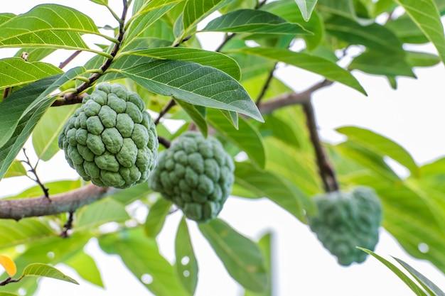 Owoc jabłoni kremu wiszące na gałęzi drzewa