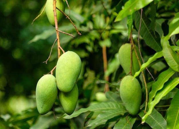 Owoc mango na drzewie