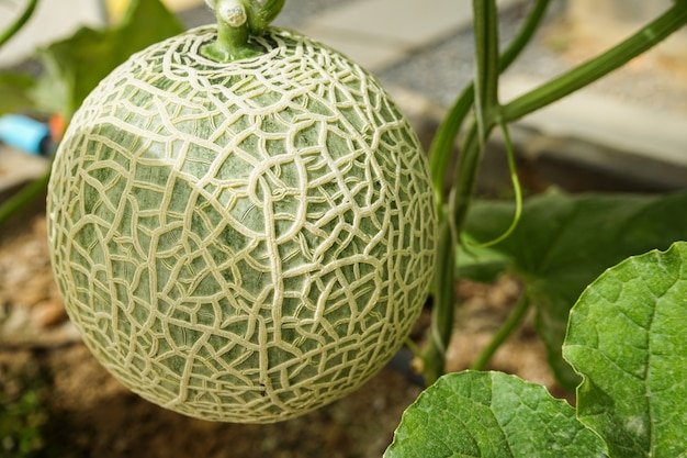 Owoc melona na drzewie rosnącym w szklarni