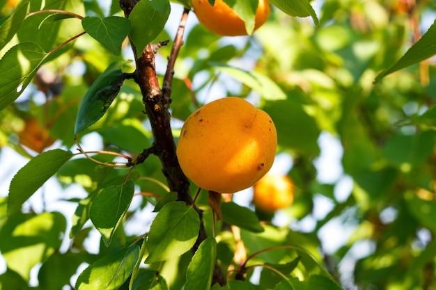 Owoc moreli na drzewie morelowym w letnim ogrodzie