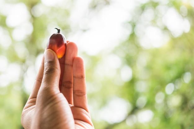 Owoc palmowy na dłoni rolnika.