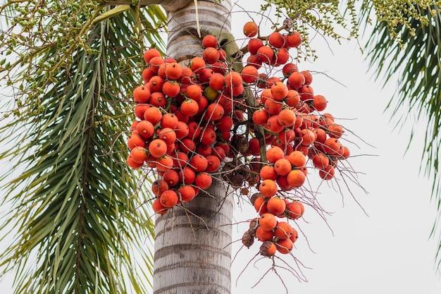 Owoc palmy - ozdobne rośliny ozdobne w ogrodach