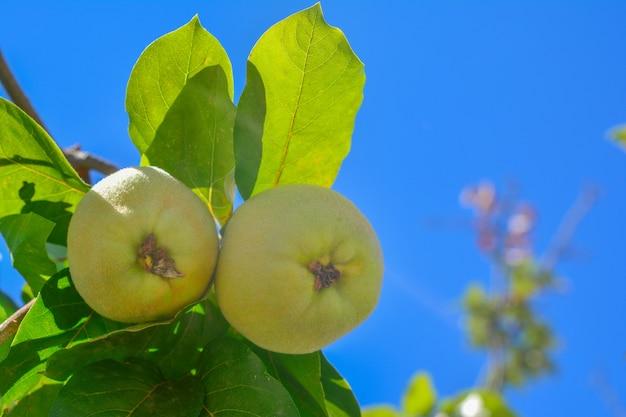 Owoc pigwy z liśćmi na gałęzi tło nieba