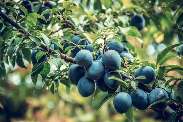 Owoc śliwki. zbiór śliwek. śliwka organiczna