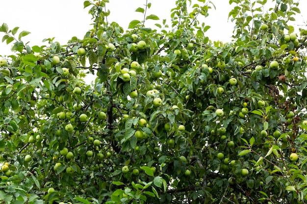 Owoc zielonego jabłka na drzewie na tle nieba