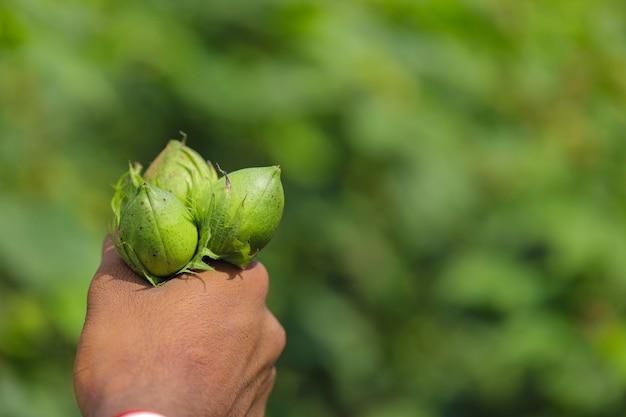 Owoce bawełny, trzymając w ręku w polu bawełny