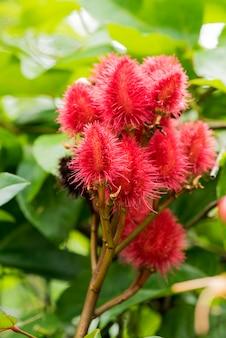 Owoce drzewa anatto na branc i na tle przyrody