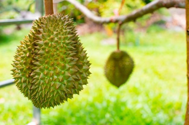 Owoce duriana na drzewie duriana w ekologicznym sadzie duriana.