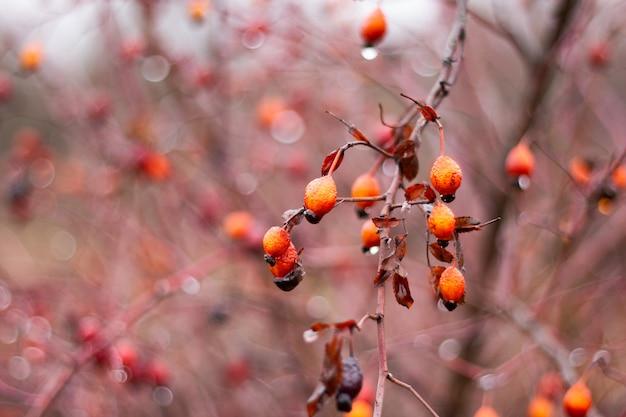 Owoce dzikiej róży na busha z bliska. medycyna alternatywna, zbieranie jagód na czas zimowy. naturalna witamina