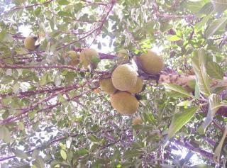 Owoce jack, drzewo