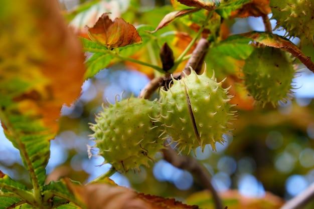 Owoce kasztanowca dojrzewają na gałęzi jesiennego drzewa z bliska
