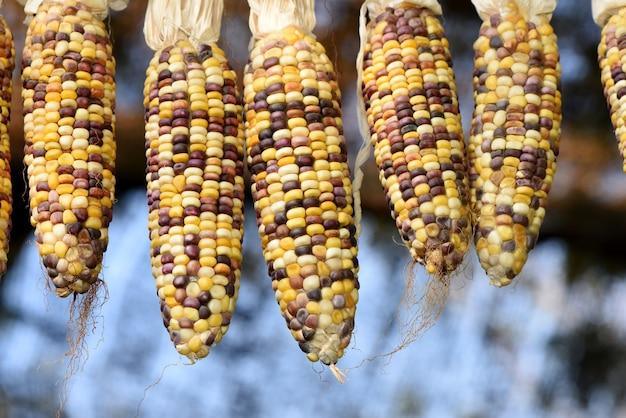 Owoce kukurydzy na tle przyrody.