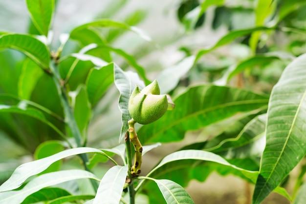 Owoce mango wiszące na gałęzi drzewa