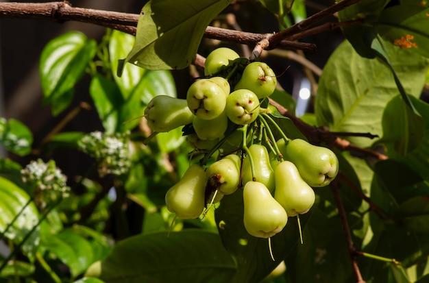 Owoce młodych jabłek wodnych (syzygium aqueum) na swoim drzewie, znane jako jabłka różane lub wodniste jabłka różane