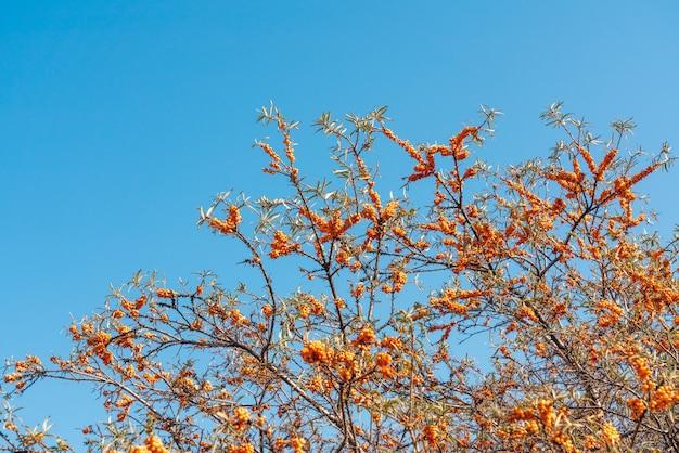 Owoce rokitnika na gałęzi