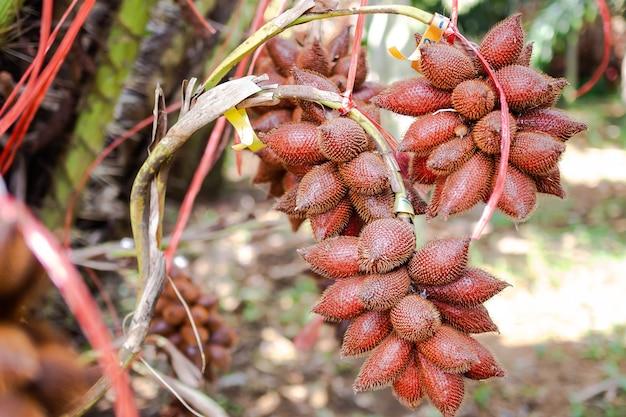 Owoce tropikalne w tajlandii. salacca, owoce salak na drzewie w parku.