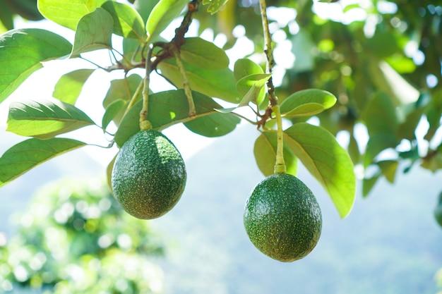 Owoce zielone awokado wiszące na gałęzi drzewa.