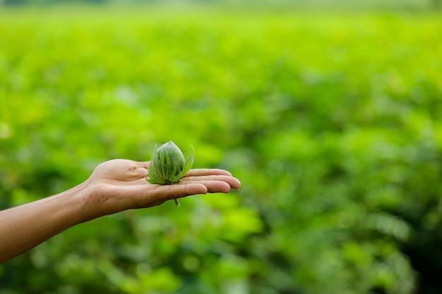 Owoce zielonej bawełny w dłoni