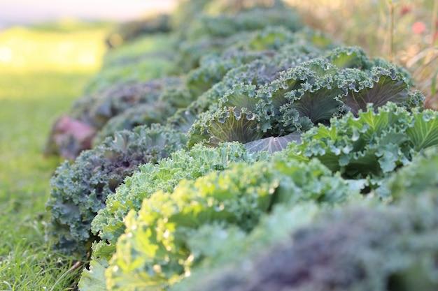 Ozdobne kapusty piękne warzywa rosnące w ogrodzie ze światłem dziennym w sezonie wiosennym