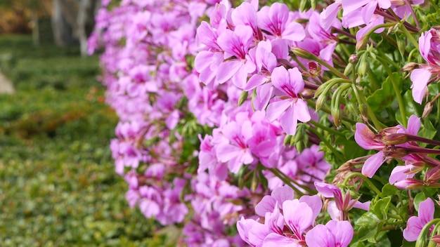 Ozdobne kwiaty ogrodowe, ogrodnictwo domowe w kalifornii, usa. dekoracyjne kwiaciarstwo botaniczne. rozkwit flory, soczyste kolory roślin.