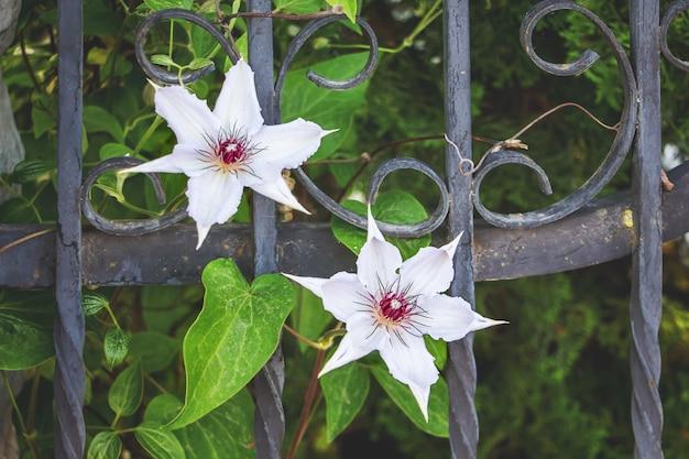 Ozdobne metalowe ogrodzenie z białymi kwiatami klimatis w pobliżu prywatnej rezydencji
