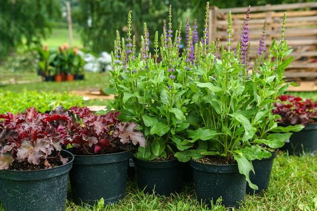 Ozdobne rośliny doniczkowe przygotowane do sadzenia w otwartym terenie, na zewnątrz