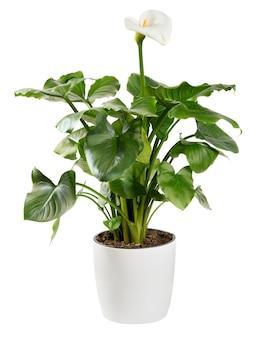 Ozdobne rośliny lilii calla na białym tle