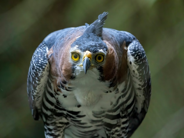 Ozdobny jastrząb (spizaetus ornatus) to dość duży ptak drapieżny z tropikalnych ameryk.