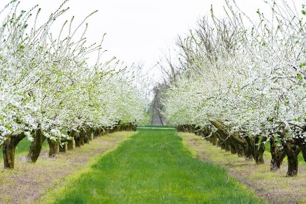 Ozdobny ogród z majestatycznie kwitnącymi dużymi drzewami na świeżym zielonym trawniku.