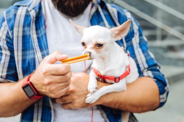 Pachnące cukierki. ciemnooki biały pies czujący apetyt, wąchając cukierki spacerując z właścicielem