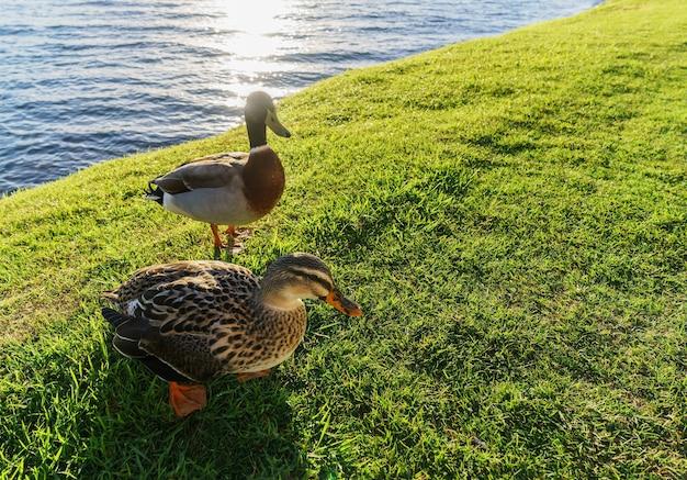 Pacyficzne kaczki czarne lub szare kaczki nad jeziorem taupo na wyspie północnej nowej zelandii