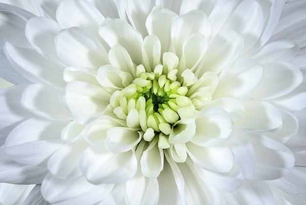 Pączek białej chryzantemy. kwiaty i rośliny