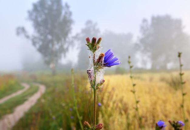 Pączek cykorii we mgle kwiat kwitnący o poranku zawinięty w pajęczyny