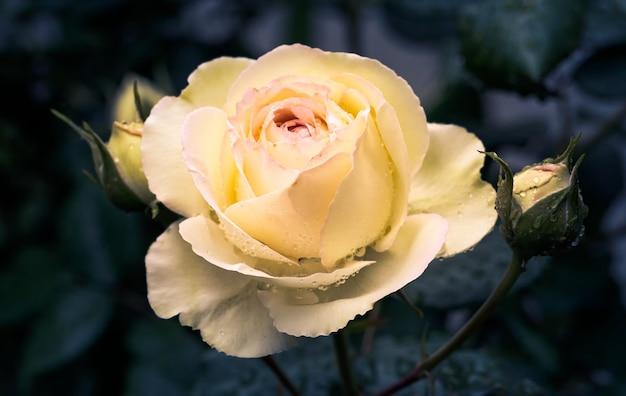 Pączek jasnych żółto-pomarańczowych kwiatów róży na ciemnoniebieskim tle.