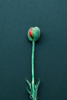 Pączek kwiatu maku podobny do pochwy narządów płci żeńskiej na ciemnym tle. pojęcie kobiecych tematów intymnych i ginekologii