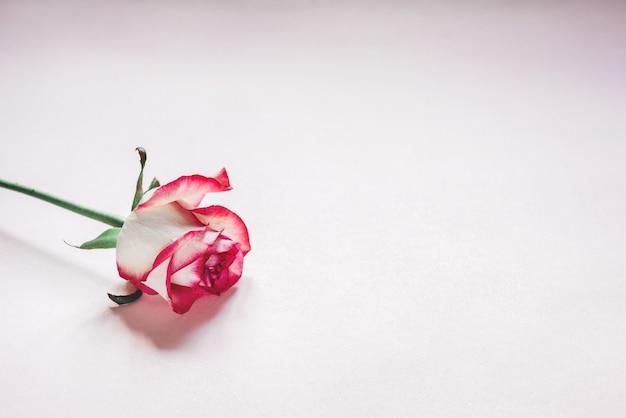 Pączek kwiatu róży różowy i biały na białym tle na jasnoróżowym tle