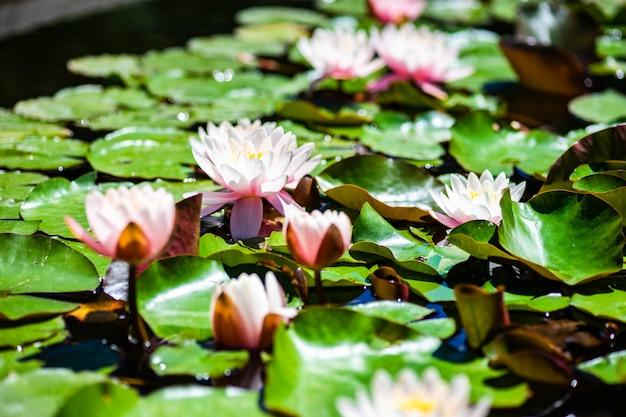 Pączek lilii wodnej w stawie